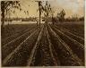 John N.Teunisson / Strawberries / First half of the twentieth century