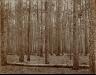 John N.Teunisson / Pine woods / First half of the twentieth century