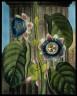 William Hopwood / The Quadrangular Passion Flower / not dated