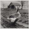 Peter Hujar / Untitled (Goose) / 1981