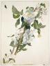 John La Farge / Apple Blossoms / about 1879