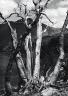 Philip Hyde / Dead white bark pine near Mono Pass, Yosemite National Park / August 1950