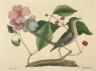 Mark Catesby / The Mock-Bird / 1731- 1743