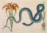 Mark Catesby / The Wampum Snake / 1731- 1743
