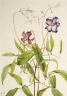 Mary Vaux Walcott / Curly Clematis (Clematis crispa) / 1925