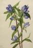 Mary Vaux Walcott / Bottle Gentian (Gentiana saponaria) / 1924
