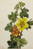 Mary Vaux Walcott / Mexican Fremontia (Fremontodendron mexicanum) / 1926