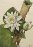 Mary Vaux Walcott / American Waterlily (Castalia odorata) / 1920