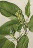 Mary Vaux Walcott / Cucumbertree (Magnolia acuminata) / 1922