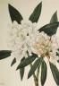 Mary Vaux Walcott / Rosebay Rhododendron (Rhododendron maximum) / 1926