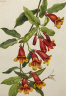 Mary Vaux Walcott / Crossvine (Anisostichus capreolatus) / 1925