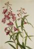 Mary Vaux Walcott / Fireweed (Epilobium angustifolium) / 1922