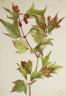 Mary Vaux Walcott / Cranberrybush (Viburnum pauciflorum) / 1923