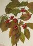Mary Vaux Walcott / Flowering Dogwood (Cornus florida) / 1926
