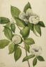 Mary Vaux Walcott / Virginia Stewartia (Stewartia malachodendron) / 1925