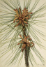 Mary Vaux Walcott / Loblolly Pine (Pinus taeda) / 1918