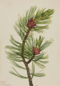 Mary Vaux Walcott / Whitebark Pine (Pinus albicaulis) / 1924