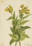 Mary Vaux Walcott / Arrowleaf Groundsel (Senecia triangularis) / 1916