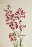Mary Vaux Walcott / Parry's  Penstemon (Penstemon parryi) / 1927