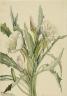 Mary Vaux Walcott / Evening Primrose (Pachyoplus hirsutus) / 1927