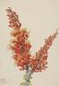 Mary Vaux Walcott / Ocotillo (Fouquieria splendens) / 1927