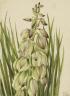 Mary Vaux Walcott / Yucca (Yucca baileyi) / 1928