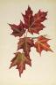 Mary Vaux Walcott / Untitled (Autumn Leaves) / 1877