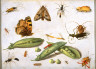 Jan van Kessel / Peapods and Insects / circa 1650
