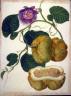 Gerrit Schouten / One Botanical Study / 1820 - 1830