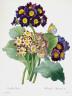 Pierre-Joseph Redouté / Oreilles d'Ours from Choix des Plus Belle Fleurs et des Plus Beaux Fruits / 1827