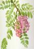 Mary Vaux Walcott / New Mexican Locust (Robinia neomexicana) / 1938