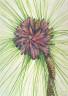 Mary Vaux Walcott / Longleaf Pine (Pinus palustris) / 1929