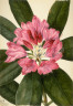 Mary Vaux Walcott / Mountain Rose-Bay (Rhododendron catawbiense) / 1932