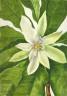 Mary Vaux Walcott / Umbrella Tree (Magnolia tripetala) / 1932