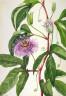 Mary Vaux Walcott / Maypop (Passiflora incarnata) / 1926