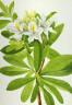 Mary Vaux Walcott / Western Azalea (Rhododendron occidentale) / n.d.