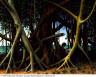 Peter Blume / Banyan Tree / 1961