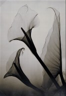 Untitled (Calla Lily X-Ray)