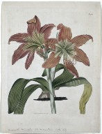The Botanical Magazine or Flower Garden Displayed: The Mountain Lake Lily