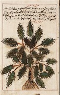 Leaf from an Illustrated Herbal
