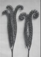 [Phacelia tanacetifolia, Urformen der Kunst, Plate 97]