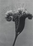 [Phacelia tanacetifolia, Urformen der Kunst, Plate 98]