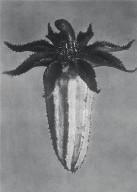 [Michauxia campanuloides, Urformen der Kunst, Plate 64]