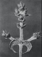 [Salvia aethiopis, Plate 65, Urformen der Kunst]