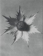[Eryngium giganteum, Plate 66, Urformen der Kunst]
