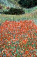 Poppy Field in a Hollow near Giverny