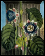 The Quadrangular Passion Flower