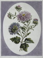 A Collection of Flowers Drawn from Nature: Large Double China Aster