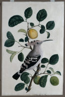 Hoopoe on a Citrus Tree Branch