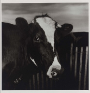 Untitled (Cow)